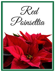Red Poinsettia from Blythe Flowers in Ottawa, IL