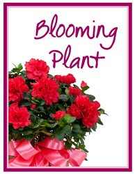 Blooming Plant Deal of the Day from Blythe Flowers in Ottawa, IL