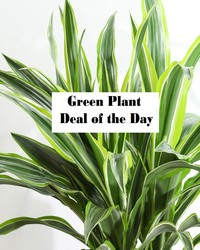 Green Plant Deal of the Day from Blythe Flowers in Ottawa, IL