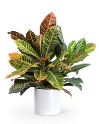 Croton Petra Plant from Blythe Flowers in Ottawa, IL