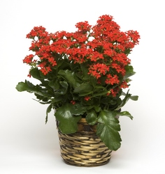 Kalanchoe from Blythe Flowers in Ottawa, IL