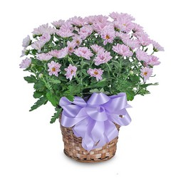 Lavender Chrysanthemum Basket from Blythe Flowers in Ottawa, IL