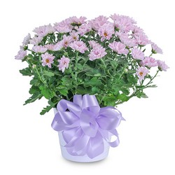 Lavender Chrysanthemum in Ceramic Container from Blythe Flowers in Ottawa, IL