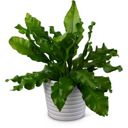 Bird's Nest Fern from Blythe Flowers in Ottawa, IL
