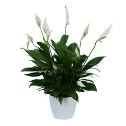 Peace Lily Plant in White Ceramic Container from Blythe Flowers in Ottawa, IL