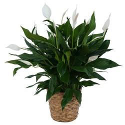 Peace Lily Plant in Basket from Blythe Flowers in Ottawa, IL
